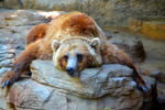 picture of a grizzly bear relaxing