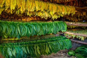 Picture of Tobacco leaves drying in the shed.