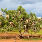 Goats graze in an argan tree - Morocco, North Africa. An apt image for a discussion of the Sec. 965 transition tax.