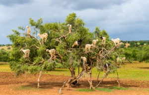 Goats graze in an argan tree - Morocco, North Africa